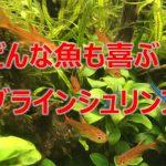 熱帯魚の餌に困ったらブラインシュリンプをあげてみましょう