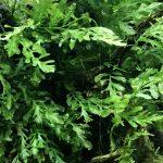深緑のボルビティスを茂らせて水槽に森を作るよ!Bolbitis forest!!