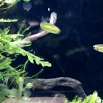 小型水槽にとても良く映える!熱帯魚!「ホラタンディア アテコレリー」