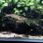 水槽を掃除してくれる熱帯魚!苔取り生体のその実力はどれ程?