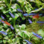 グリーンネオンテトラの群泳はミニ水草水槽に良く映えるね!【混泳・繁殖】
