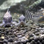 コリドラス飼育法!底魚の生態・餌・種類・混泳について